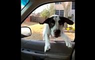 Счастливый пес запрыгнул в окно авто: хит Сети