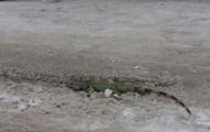 Во Львове на улице нашли метровую игуану