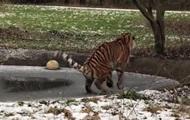 Амурский тигр неудачно прошелся по тонкому льду
