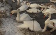 На Буковине зимует рекордное количество лебедей