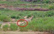 Спасшийся от крокодила жираф угодил в пасти львов