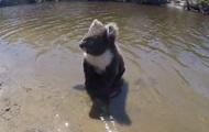 Плывущую в реке коалу сняли на видео