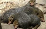 В зоопарке Киева поселились кузиманзы