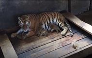 В Китае тигрица родила пять детенышей