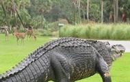 Прогулку гигантского аллигатора сняли на видео