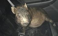 Мужчина обратился в полицию из-за преследовавшей его свиньи