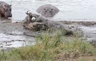 Гиппопотамы защитили антилопу от крокодилов