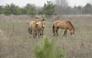 В зоне ЧАЭС может находиться более 100 лошадей Пржевальского