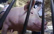 В Украине зафиксировано 58 случаев чумы свиней