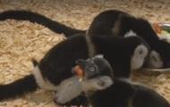 В зоопарке Праги родились черно-белые лемуры