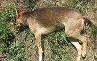 В Кропивницком неизвестные массово убивают собак