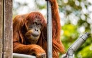 В Австралии умер старейший в мире орангутан