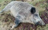 На Закарпатье зафиксирован случай чумы свиней