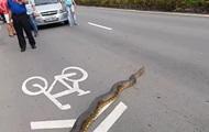 В Бразилии анаконда перекрыла трассу