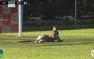 Кенгуру вторгся на футбольное поле во время матча
