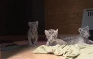 В зоопарке Венгрии родились четыре белых тигренка