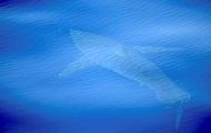 У берегов Испании впервые за 40 лет увидели белую акулу