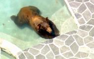 У США ведмідь заліз у басейн, рятуючись від спеки