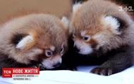 В зоопарке США родились детеныши красной панды
