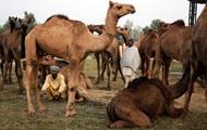 В Индии верблюд застрял в машине после ДТП