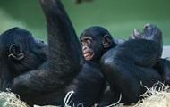 Человеческая игра шимпанзе с детенышем стала хитом