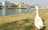 В Китае гуся приняли в университет