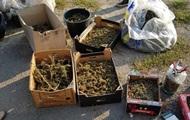 На Закарпатье изъяли конопли на 39 миллионов