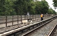 В Нью-Йорке козы помешали движению поездов метро
