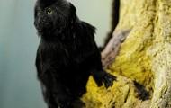 В Швеции обезьяна сбежала из зоопарка и отправилась в фастфуд
