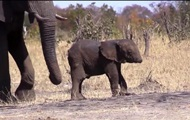 Слоненок без хобота был снят на видео