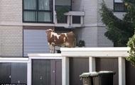 Сбежавшая из фермы корова нашлась на крыше гаража