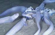 На дне Тихого океана обнаружили три новых вида рыб