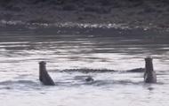 У заповіднику видри прогнали крокодила