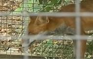 В Винницкой области бешеная лиса забежала в отделение полиции