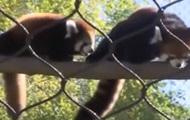 В зоопарке США показали детеныша красной панды