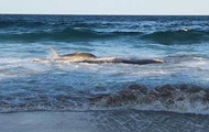 Акула выбросилась на берег, чтобы поесть