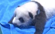 В зоопарке Китая показали двухмесячных панд