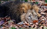 Львица жестоко загрызла льва-отца ее детенышей