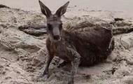 Австралийские полицейские спасли тонущего кенгуру