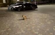 По улице Одессы гулял львенок