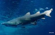 Акула напала на мужчину у побережья Австралии