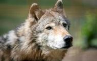 Китаянка прославилась кормлением волков изо рта