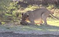 Черепаха выжила после встречи с двумя львами