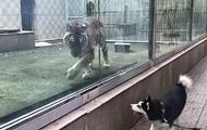 Тигр и пес устроили