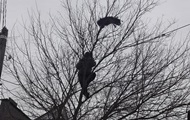 Под Киевом спасли замерзающего на дереве павлина