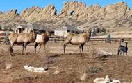 В США овца присоединилась к стаду оленей