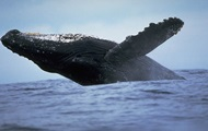 Япония отменяет 30-летний мораторий на охоту на китов