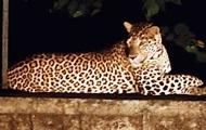 В Индии поймали леопарда, убивавшего людей