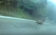 В Китае задержали страуса за нарушение ПДД