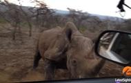 Атакующего авто носорога сняли на видео